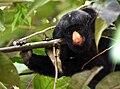 Chiropotes albinasus.jpg