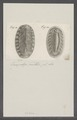 Chiton spec. - - Print - Iconographia Zoologica - Special Collections University of Amsterdam - UBAINV0274 081 06 0024.tif