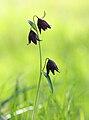 Chocolate Lily (Fritillaria biflora).jpg