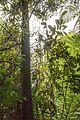 Christchurch Botanic Gardens, New Zealand section, Tawa tree 2016-02-04.jpg