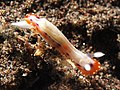 Chromodoris decora (8227833333).jpg