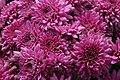 Chrysanthemum Sharon 1zz.jpg