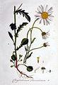 Chrysanthemum leucanthemum — Flora Batava — Volume v1.jpg