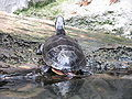 Chrysemys picta - Painted turtle.jpg