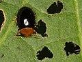 Chrysomelidae indet. (6406460587).jpg