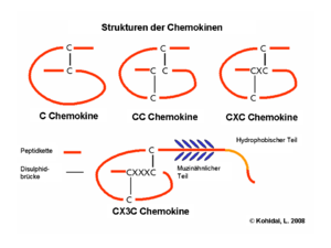 The four chemokine subfamilies