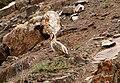 Chukar Partridge.jpg