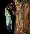 Cicada (Cicadidae) after last molt (8445013610).jpg