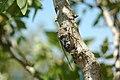 Cicada - panoramio.jpg