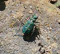 Cicindela maroccana. Carabidae - Flickr - gailhampshire.jpg
