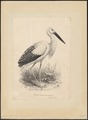 Ciconia boyciana - 1700-1880 - Print - Iconographia Zoologica - Special Collections University of Amsterdam - UBA01 IZ17600033.tif