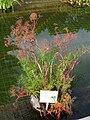 Cicuta virosa - Oslo Botanical Garden - IMG 8917.jpg