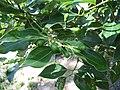 Cinnamomum tenuifolium2.jpg