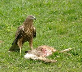 Circus approximans -New Zealand -with dead hare-8 (3).jpg