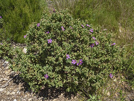 Cistus albidus is a xerophyte which grows in European countries such as France, and Italy and North African countris like Morocco. Cistus albidus in Sainte Lucie Island.jpg