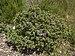 Cistus albidus in Sainte Lucie Island.jpg
