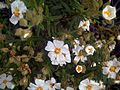 Cistus monspeliensis FlowerCloseup DehesaBoyaldePuertollano.jpg