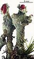 Cladonia digitata 1.jpg