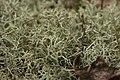 Cladonia portentosa (35434302054).jpg