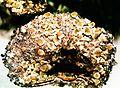 Cladonia pyxidata-2.jpg