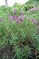 Clarkia pulchella grove.jpg
