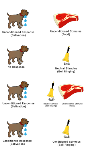 Neutral stimulus - Unconditioned, neutral, and conditioned stimuli as well as unconditioned and conditioned responses in Ivan Pavlov's research on digestion.