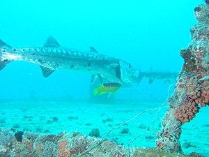 En fisk renses af andre fisk