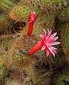 Cleistocactus samaipatanus f. cristata 02.jpg