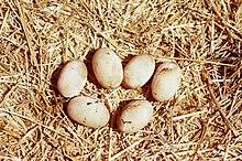 Clemmys marmorata01.jpg