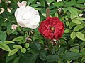 Cluster flowered rose from Lalbagh flower show Aug 2013 8481.JPG