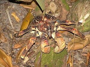 Coenobitidae - Coconut crab, Birgus latro