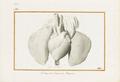 Coeur et poumons - PJ Redouté.png