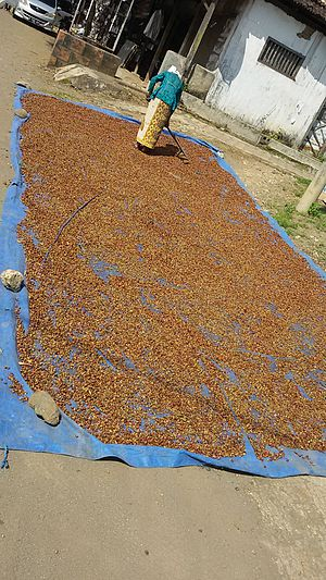 Robusta coffee - Traditional coffee beans drying in Kalibaru, Indonesia