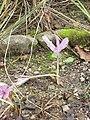 Colchicum speciosum1.jpg