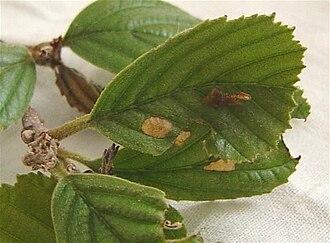 Coleophora binderella - Black Alder (Alnus glutinosa) with feeding damage (center) and case (center-right) of Coleophora binderella