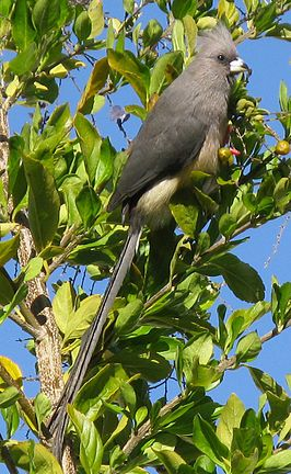 Colius White-backed mousebird feeding on Duranta berries 9860s.jpg