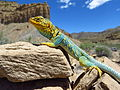 Collared Lizard near Thompson Springs (9400253689).jpg