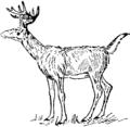 Collier's 1921 Virginian Deer.png