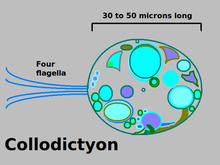 Collodictyon.png