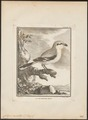 Collyrio excubitor - 1700-1880 - Print - Iconographia Zoologica - Special Collections University of Amsterdam - UBA01 IZ16600381.tif