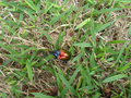 Colorful beetle from Brasília, Brazil in the grass 4.png