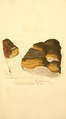 Coloured Figures of English Fungi or Mushrooms - t. 132.png