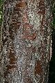 Colvillea racemosa 7zz.jpg