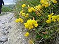 Common Bird's-foot Trefoil - Lotus corniculatus - geograph.org.uk - 1165559.jpg