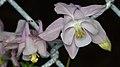 Common Columbine (Aquilegia vulgaris) - Kitchener, Ontario.jpg