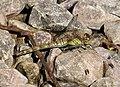 Common Darter female. Sympetrum striolatum (36410980773).jpg