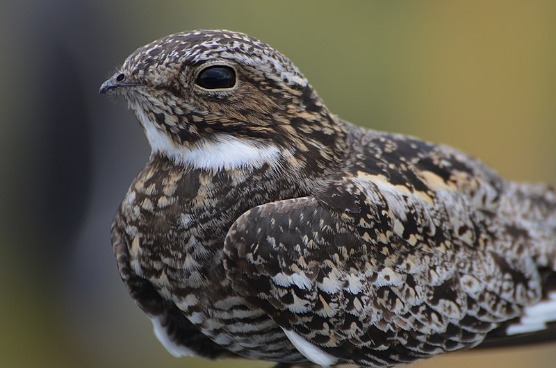File:Common Nighthawk (14605341423).jpg