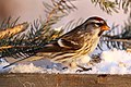 Common Redpoll (31661918140).jpg