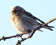 Common Redpoll Finland.jpg