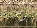 Common Redshank (Tringa totanus) (33115152656).jpg